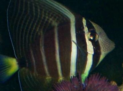 1 year old Sailfin Tang swimming above purple urchen