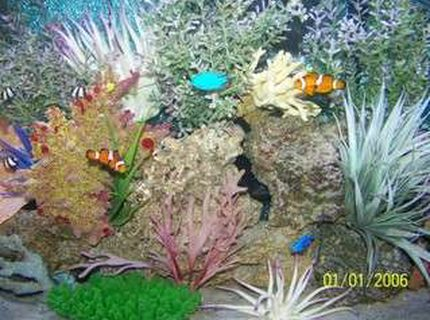 saltwater fish - amphiprion ocellaris - ocellaris clownfish stocking in 72 gallons tank - a different view