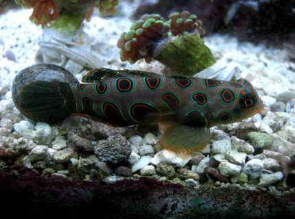 saltwater fish - synchiropus picturatus - spotted mandarin stocking in 24 gallons tank - My Green Spotted mandarin