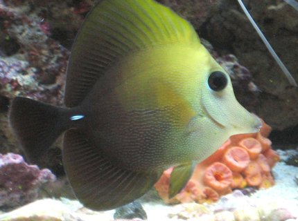 saltwater fish - zebrasoma scopas - scopas tang stocking in 75 gallons tank - My Scopas.