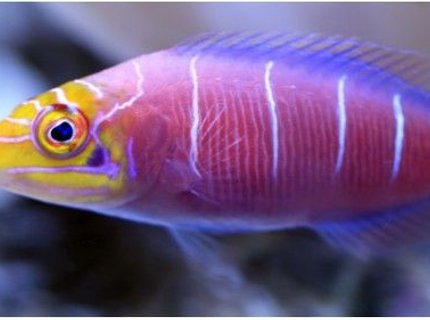 saltwater fish - pseudocheilinus ocellatus - mystery wrasse stocking in 500 gallons tank - Latin Name Pseudocheilinus ocellatus 