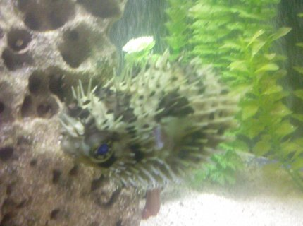 saltwater fish - chilomycterus schoepfi - spiny box puffer stocking in 80 gallons tank - puffer