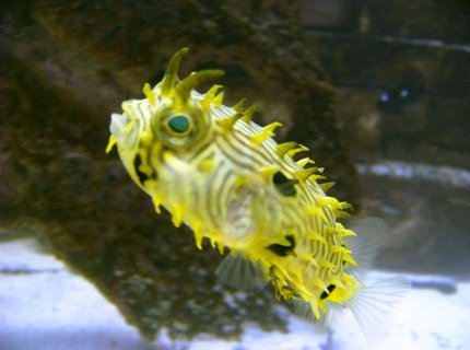 saltwater fish - chilomycterus schoepfi - spiny box puffer stocking in 120 gallons tank - Spiny Box Puffer