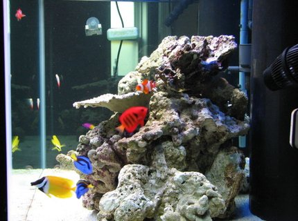 saltwater fish - centropyge loriculus - flame angelfish stocking in 125 gallons tank - after meal