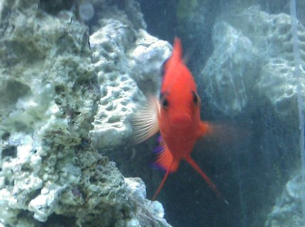 saltwater fish - centropyge loriculus - flame angelfish stocking in 55 gallons tank - Flame Angel