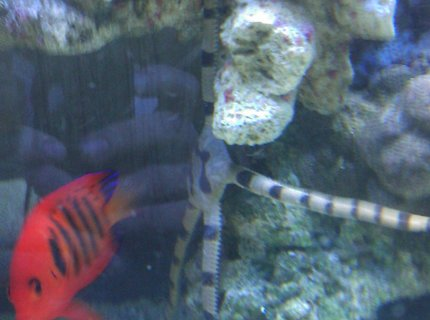 saltwater fish - centropyge loriculus - flame angelfish stocking in 55 gallons tank - Flame Angel & Serpent Star