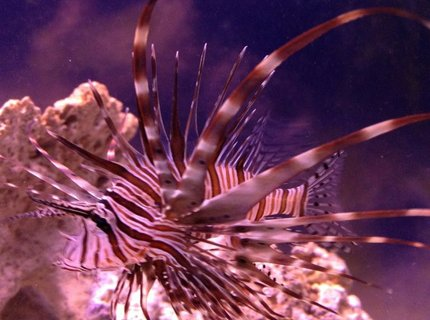 saltwater fish - pterois volitans - volitan lionfish stocking in 100 gallons tank - LionFish