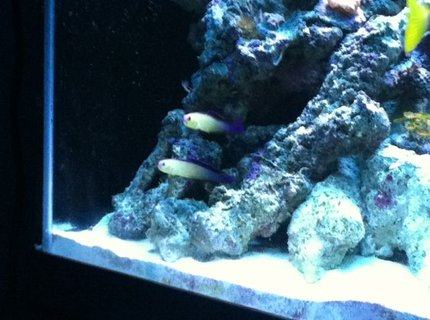 saltwater fish - nemateleotris decora - firefish, purple stocking in 90 gallons tank - Our Purple Firefish Couple