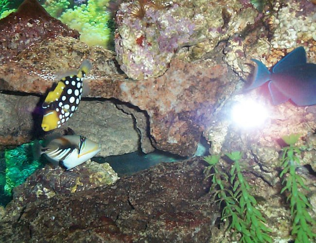 saltwater fish - rhinecanthus aculeatus - humu picasso triggerfish stocking in 90 gallons tank - clown and humu
