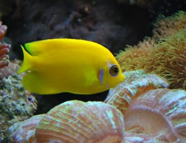 saltwater fish - centropyge flavissima - lemonpeel angelfish stocking in 60 gallons tank - Lemon Peel (We call Mercedes)