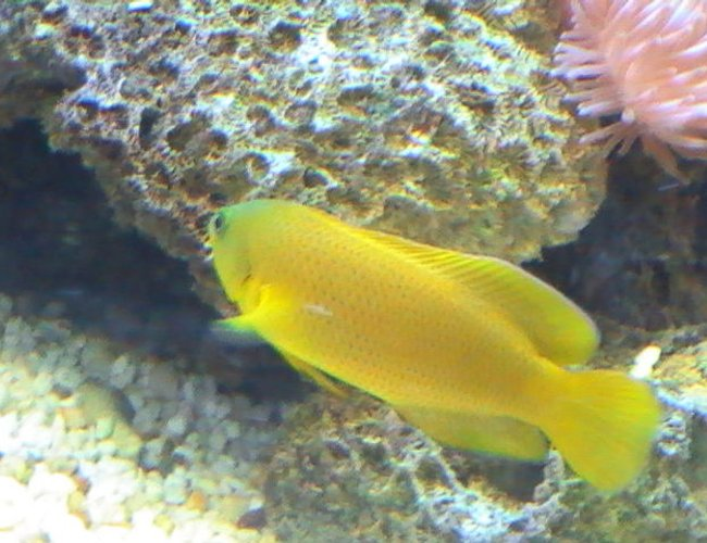 saltwater fish - pseudochromis fuscus - dusky dottyback stocking in 95 gallons tank - Dusky Dottyback