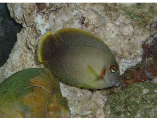 saltwater fish - acanthurus dussumieri - dussumieri tang stocking in 55 gallons tank - tang i no longer have