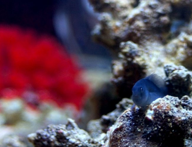 saltwater fish - gobiodon strangulatus - black clown goby stocking in 26 gallons tank - Picture of Ira, my black clown goby, hanging out on a rock.