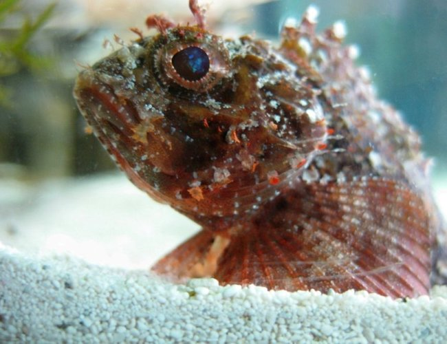 saltwater fish - parablennius sp. - horned blenny stocking in 120 gallons tank - Kray-Z Stonefish
