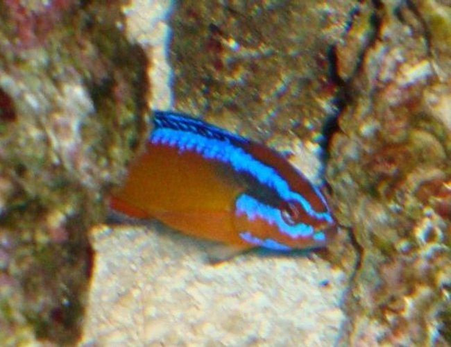 saltwater fish - pseudochromis aldabraensis - arabian pseudochromis stocking in 54 gallons tank - arabian psudeuochromes