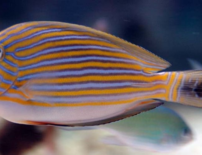 saltwater fish - acanthurus lineatus - clown tang stocking in 375 gallons tank - Clown Tang