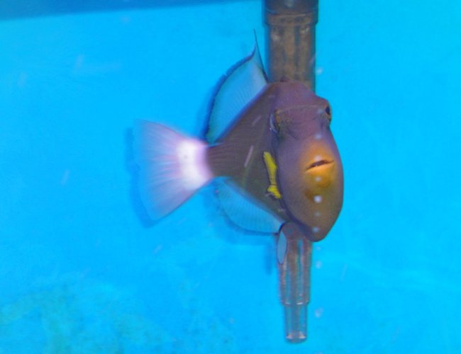 saltwater fish - melichthys vidua - pinktail triggerfish stocking in 45 gallons tank - Pinktale Trigger Fish in another Pose.