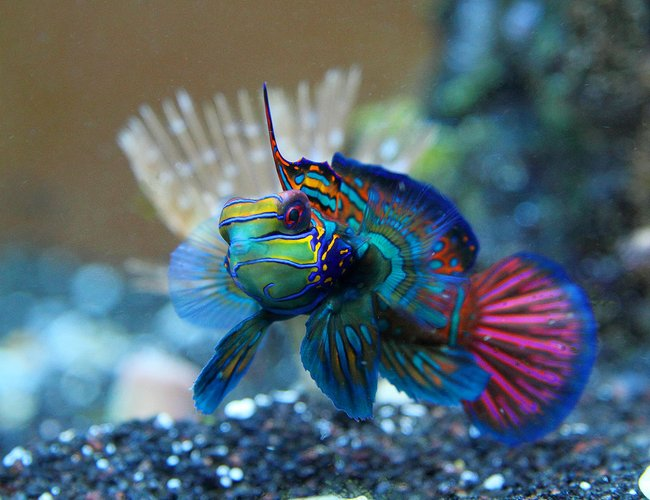saltwater fish - synchiropus cf. splendidus - red mandarin stocking in 45 gallons tank - Mandarinfish or Mandarin Dragonet (Synchiropus splendidus)
