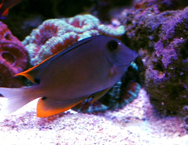 saltwater fish - ctenochaetus tominiensis - bristletooth tomini tang stocking in 105 gallons tank - Tomini