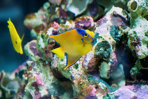 Rated #5: Saltwater Fish - Holacanthus Ciliaris - Queen Angelfish Stocking In 150 Gallons Tank - Queen Angel with YT
