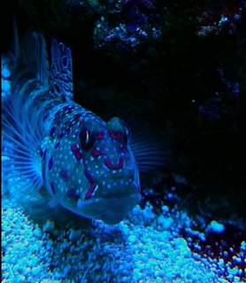 Rated #2: Saltwater Fish - Cryptocentrus Leptocephalus - Pink Spotted Watchman Goby Stocking In 65 Gallons Tank - Pink spot shrimp goby