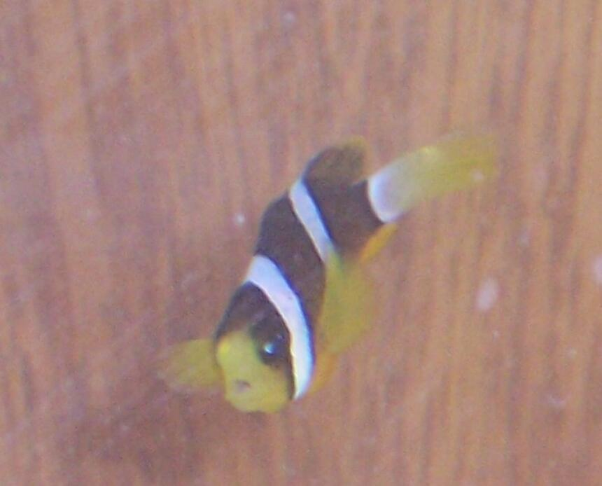 Rated #65: Saltwater Fish - Amphiprion Clarkii - Clarkii Clownfish Stocking In 10 Gallons Tank - Clarkii clown