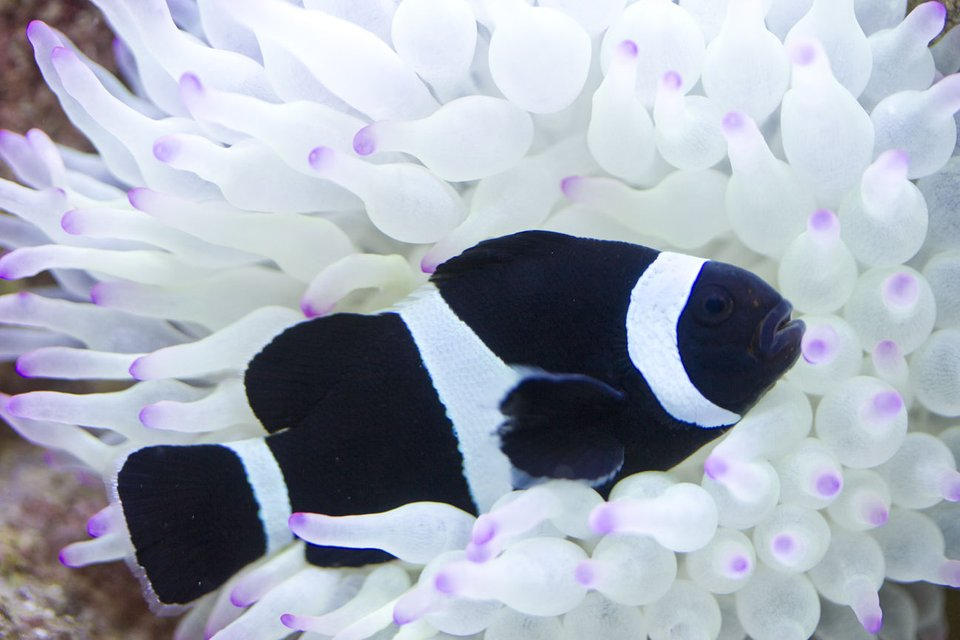 Rated #1: Saltwater Fish - Amphiprion Ocellaris Var. - Black And White Ocellaris Clownfish Stocking In 53 Gallons Tank - Black clownfish