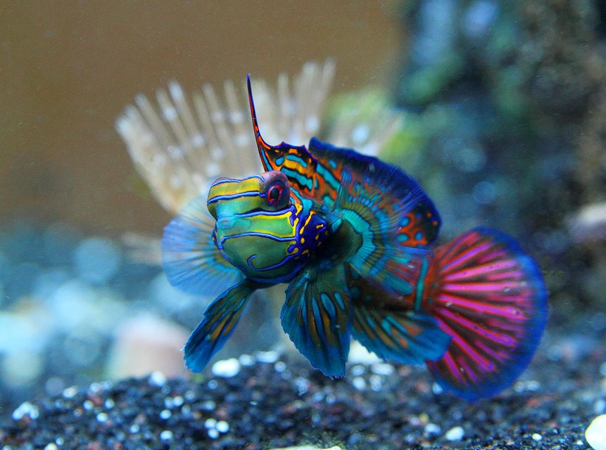 Rated #1: Saltwater Fish - Synchiropus Cf. Splendidus - Red Mandarin Stocking In 45 Gallons Tank - Mandarinfish or Mandarin Dragonet (Synchiropus splendidus)