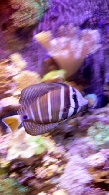Rated #3: Saltwater Fish Stocking In 90 Gallons Tank - Sailfin tang on a journey