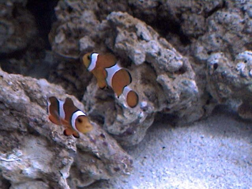 Rated #51: Saltwater Fish - Amphiprion Percula - True Percula Clownfish Stocking In 27 Gallons Tank - They want to be in every pic!! Friendly little guys.