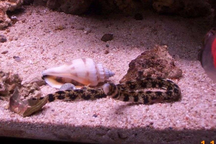 Rated #53: Saltwater Fish - Echidna Nebulosa - Snowflake Eel Stocking In 55 Gallons Tank - 20 gallon saltwater