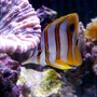 saltwater fish - chelmon rostratus - copperband butterflyfish stocking in 9 gallons tank - My Copper Band Butterfly snacking on feather dusters in my 46 gallon reef tank.