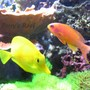 saltwater fish - zebrasoma flavescens - yellow tang - hawaii stocking in 100 gallons tank - Anthias Squamipinnis & Zebrasoma Flavescens