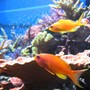 saltwater fish - pseudanthias squamipinnis - lyretail anthias stocking in 100 gallons tank - Anthias squamipinnis, male & female