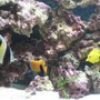 saltwater fish - zebrasoma flavescens - yellow tang - hawaii stocking in 120 gallons tank - my fishes,
