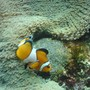 saltwater fish - amphiprion percula - true percula clownfish stocking in 500 gallons tank - Clown fish with a carpet anenomae and her unhatched eggs.