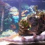 saltwater fish - chiloscyllium punctatum - cat shark, black banded stocking in 90 gallons tank - banded shark+ green wolf eel