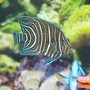 saltwater fish - pomacanthus semicirculatus - koran angelfish stocking in 140 gallons tank - koran angel