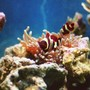 saltwater fish - premnas biaculeatus - yellowstripe maroon clownfish stocking in 60 gallons tank - My mated gold stripe maroon clowns and their bubble tip anemone!