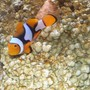"saltwater fish - amphiprion ocellaris - ocellaris clownfish stocking in 20 gallons tank - This is ""mo"" my biggest baby 5.08"
