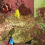 saltwater fish - zebrasoma flavescens - yellow tang - hawaii stocking in 125 gallons tank - Blue Tang, Yellow Tang, Bubble Tip, Maroon Clown, Trumpet Coral, & Purple Mushroom
