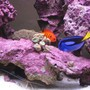 saltwater fish - paracanthurus hepatus - blue tang stocking in 125 gallons tank - Flame Angel, Blue Tang, Skunk Cleaner, and Trumpet Coral. Deep purple coralline!