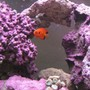 saltwater fish - centropyge loriculus - flame angelfish stocking in 125 gallons tank - Flame Angel