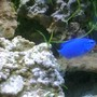 saltwater fish - chrysiptera cyanea - blue damselfish stocking in 55 gallons tank - Blue Damsel