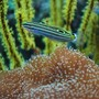 saltwater fish - amblygobius hectori - hector's goby stocking in 60 gallons tank - Gogy hanging out