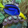 saltwater fish - paracanthurus hepatus - blue tang stocking in 60 gallons tank - Blue Tang swimming along