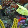 saltwater fish - lactoria cornuta - cowfish longhorn stocking in 60 gallons tank - Long horn cow fish (we call Sponge Bob) with his new little friend the box fish we call Square Pants