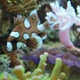 saltwater fish - plectorhinchus chaetodonoides - spotted sweetlips stocking in 60 gallons tank - Harlequin sweet lips