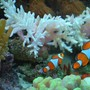 saltwater fish - amphiprion percula - true percula clownfish stocking in 60 gallons tank - 2 percula clowns swimming side by side