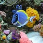 saltwater fish - acanthurus leucosternon - powder blue tang stocking in 60 gallons tank - Powder Blue Tang (We call Carmen)